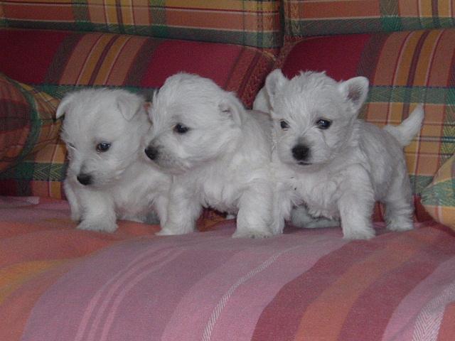 Nos chiots Westie, élevage chien de race France, naissance bébé ...